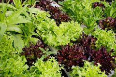 Cultivo da salada Fotografia de Stock Royalty Free