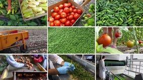 Cultivo da Vegetal-multi-tela orgânica vídeos de arquivo