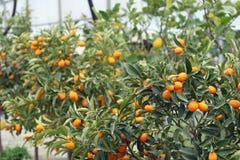 Cultivo das citrinas Imagem de Stock Royalty Free