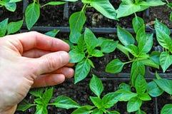 Cultivo das plantas da agricultura Fotografia de Stock
