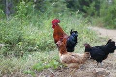 Cultivo de aves domésticas ar livre em Sri Lanka imagens de stock royalty free