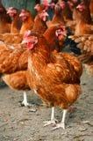 Cultivo de aves domésticas ar livre tradicional Imagem de Stock Royalty Free