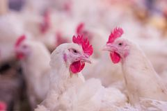 Cultivo de aves domésticas com a finalidade de cultivar a carne ou os ovos para o alimento 2 imagens de stock
