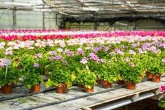 Cultivo de diversas flores del geranio en invernadero Imagenes de archivo