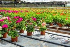 Cultivo de diversas flores del geranio en invernadero Foto de archivo