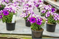 Cultivo de diversas flores en invernadero Foto de archivo