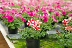 Cultivo de diversas flores en invernadero Imagenes de archivo