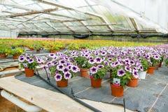Cultivo de diversas flores en invernadero Imagen de archivo