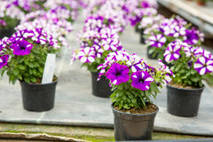 Cultivo de flores diferentes na estufa Foto de Stock