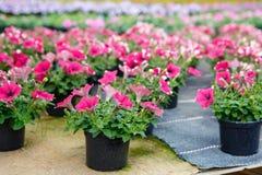 Cultivo de flores diferentes na estufa Fotografia de Stock