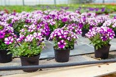 Cultivo de flores diferentes na estufa Fotografia de Stock Royalty Free