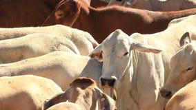 Cultivo de la agricultura de las vacas de los ganados vacunos del brahmán almacen de metraje de vídeo