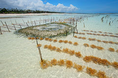 Cultivo de la alga marina Imagen de archivo libre de regalías