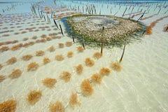 Cultivo de la alga marina Fotografía de archivo libre de regalías