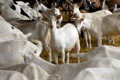 Cultivo de la cabra de la lechería foto de archivo libre de regalías