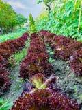 Cultivo de la ensalada y de la verdura imagen de archivo