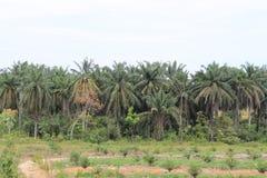 Cultivo de la palma Fotografía de archivo libre de regalías
