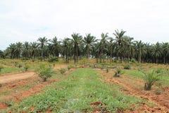 Cultivo de la palma Imagen de archivo