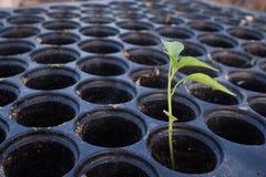 Cultivo de la pimienta Foto de archivo