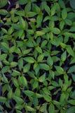 Cultivo de la pimienta Fotos de archivo