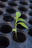 Cultivo de la pimienta Imagen de archivo