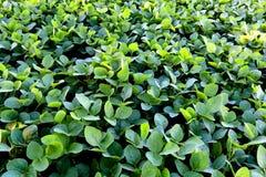 Cultivo de la soja en el sur del Brasil Crecimiento verde hermoso de los campos Fotos de archivo