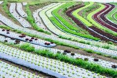 Cultivo de la terraza Imagen de archivo