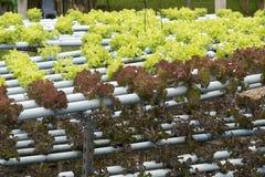 Cultivo de la verdura del hidrocultivo Foto de archivo