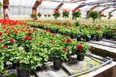 Cultivo de las flores del geranio en invernadero Fotos de archivo