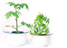 Cultivo de las plantas de tomate foto de archivo libre de regalías