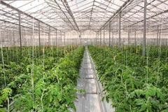 Cultivo de pepinos Foto de archivo