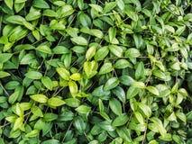 Cultivo de plantas decorativas para ajardinar urbano Plantas decorativas para ajardinar O verde deixa o fundo Fotos de Stock