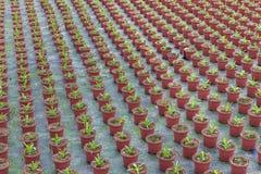 Cultivo de plantas internas em uma estufa holandesa Fotografia de Stock