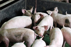 Cultivo de porco intensivo Fotos de Stock Royalty Free
