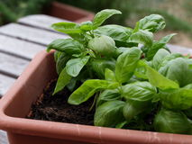 Cultivo de um tipo específico de manjericão Foto de Stock Royalty Free