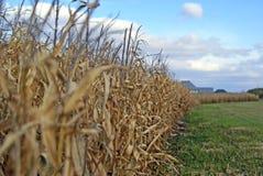 Cultivo de un campo de maíz Fotografía de archivo