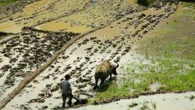 cultivo del arado con el buey, granja en Sapa, Vietnam, tractor primitivo almacen de metraje de vídeo