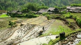 cultivo del arado con el buey, granja en Sapa, Vietnam, tractor primitivo almacen de video