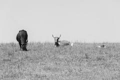 Cultivo del ganado Foto de archivo