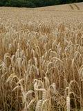 Cultivo del grano. Imagen de archivo libre de regalías