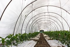 Cultivo del invernadero Imagen de archivo