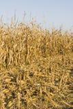 Cultivo del maíz Fotos de archivo
