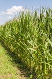 Cultivo del maíz Imagen de archivo libre de regalías