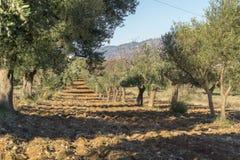 Cultivo del olivo de aceitunas Fotografía de archivo libre de regalías
