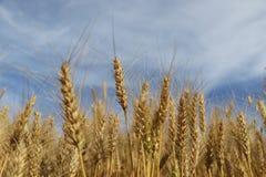 Cultivo del trigo en el sur del Brasil en un fondo del cielo azul Foto de archivo libre de regalías