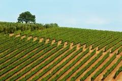 Cultivo del vino Fotos de archivo