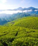 Cultivo do chá Imagens de Stock Royalty Free