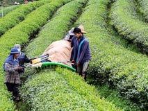 Cultivo do chá em Tailândia 9 Imagens de Stock Royalty Free
