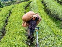cultivo do chá em Tailândia Imagem de Stock