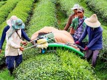Cultivo do chá em Tailândia 8 Fotos de Stock Royalty Free
